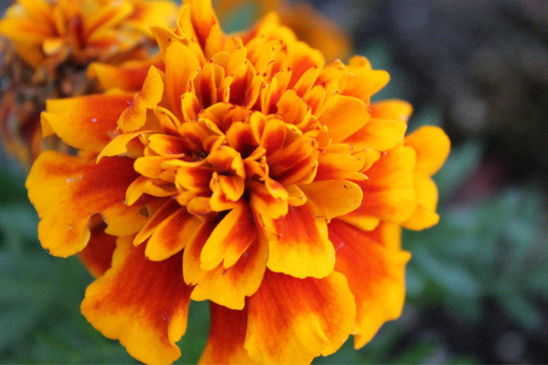 Marigold Flowers to celebrate Dia de Muertos
