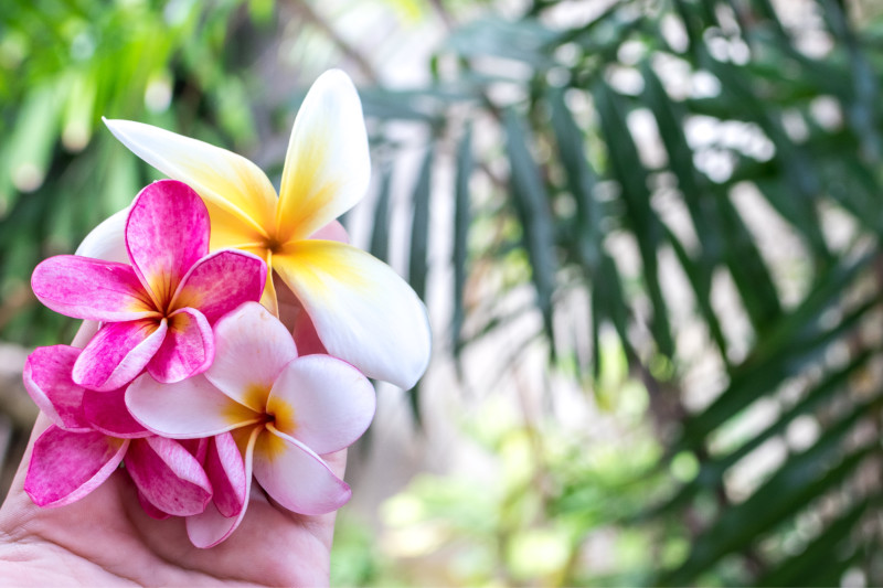 Plumeria Flower for Summer Wedding