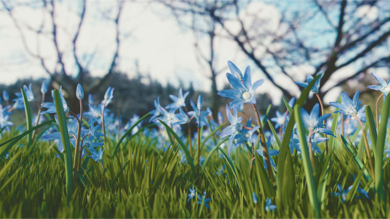 Blue Scilla for Winter Wedding