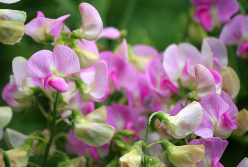 Sweet Peas to Say Thank You